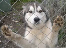 If you have a yard where your husky can play...  IS IT SAFE? WILL THE HUSKY BE ABLE TO ESCAPE??