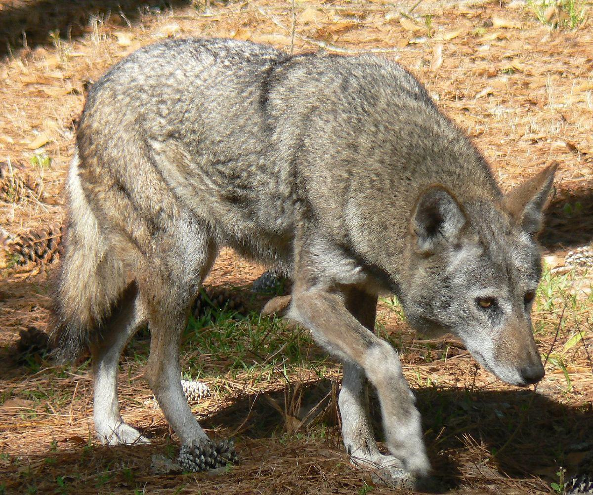 Approximately how many red wolves are left in the wild?