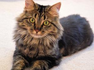 How long can an average Maine Coon cat live?