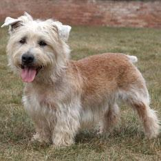 Gentler, less excitable than most terriers, but still bold and spirited. Native to Imaal