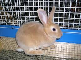What breed of rabbit is this?