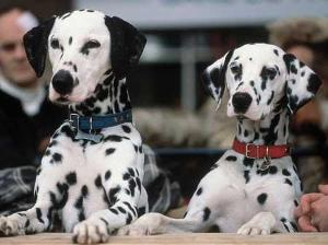 what breeds are not usually spotty dogs?