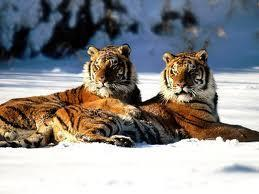 What time is these tigers mating season?