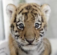 When do Siberian tiger cubs reach full maturity?