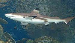 Name 3 species of shark?