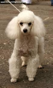 What is the smallest poodle breed?