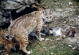 What's the name of this wild cat?