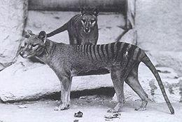 The animal below is a Thylacine. When did this animal go extinct?