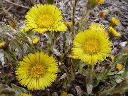 Coltsfoot helps breathing.