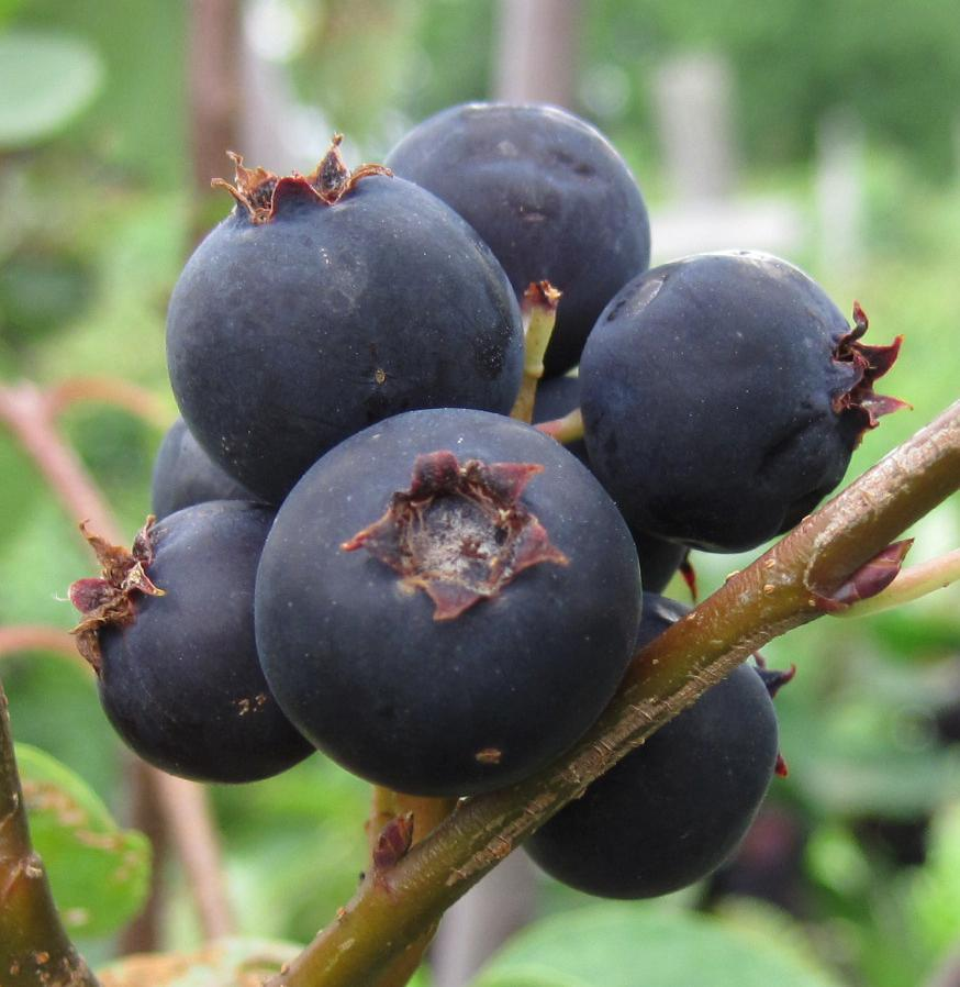 Is juneberry safe to eat? (Y or N)
