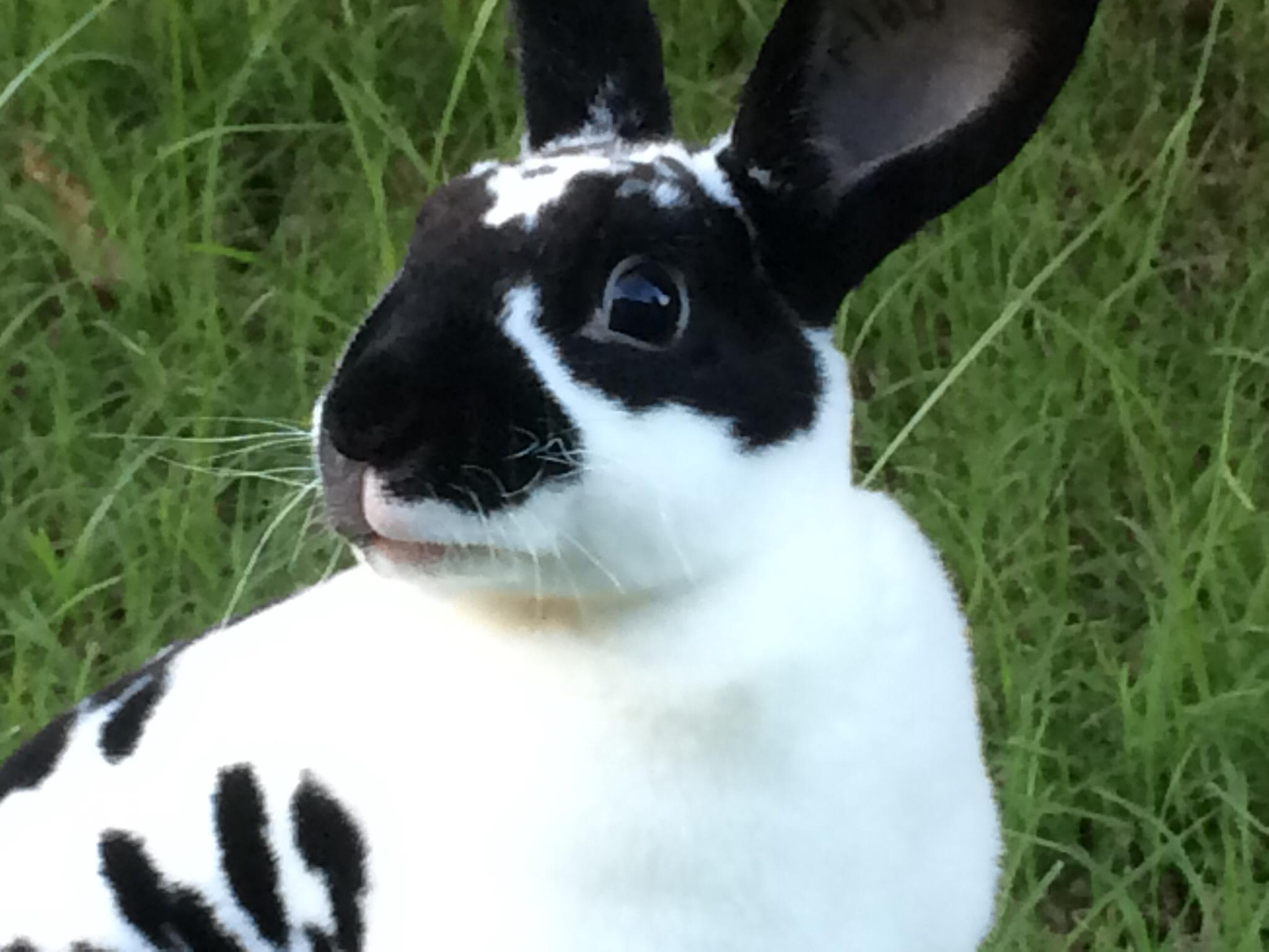 What type of bunny is Oreo?