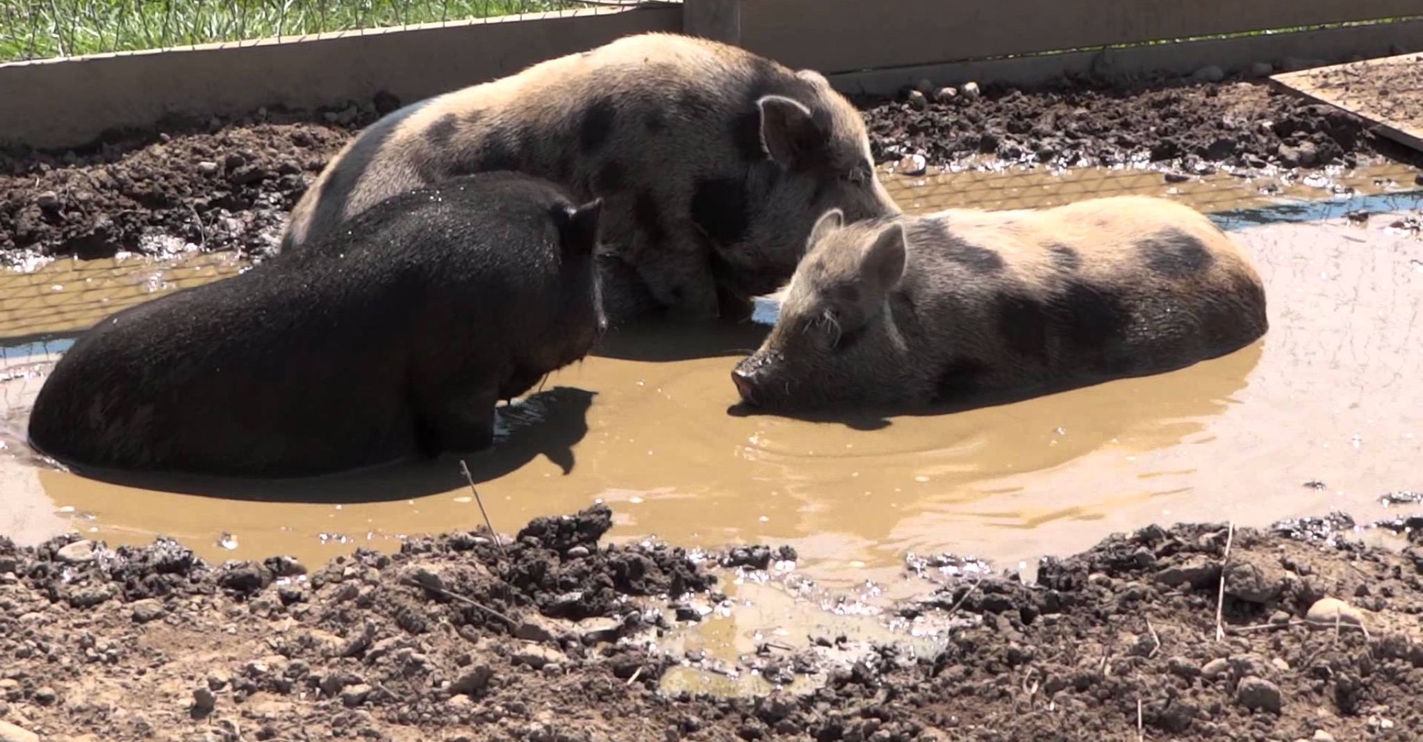 Do pigs really sit in mud all day?
