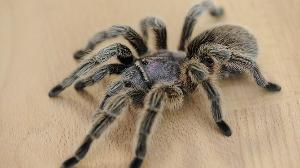 How long can a tarantula survive without food?