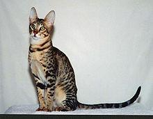 This fully domestic breed was meant to look like a wild serval and is named after the serval's natural habitat.