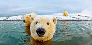 what color is a polar bear's fur?