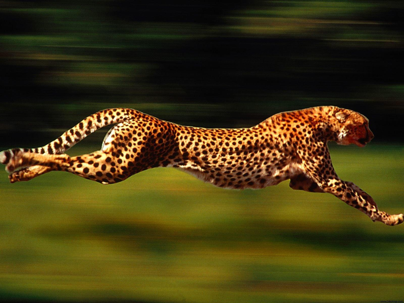 In this picture below how fast is this cheetah going?