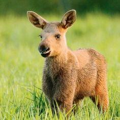 What is a baby moose?
