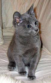 Another well-known breed! These lovely cats are a disticnt blueish-gray colour and look as if they're smiling!