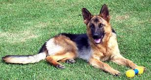 Easy #2 The number one Police dog in the United states (They are all correct. OR ARE THEY!!)