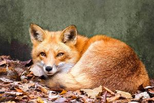 What'a scientific name for a fox?