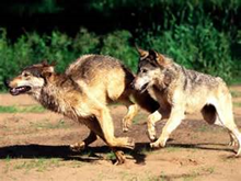 Are these wolves hunting, playing or travelling?