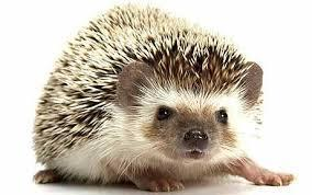 Pretend you're driving and you feel a bump. You pull over and look out your window. You see a hedgehog lying on the road. You just missed its body, and ran over its legs and arms so it can't walk or even get up. What do you do?