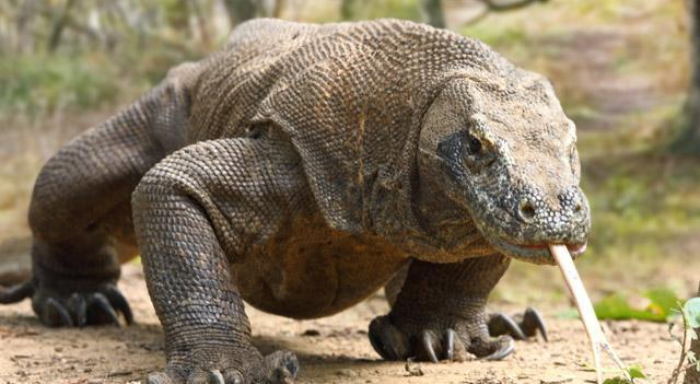 About how long is an adult Komodo dragon?