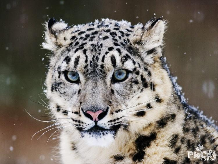 Is a Snow leopard related to the jungle leopard?