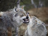 Are these wolves fighting or playing?