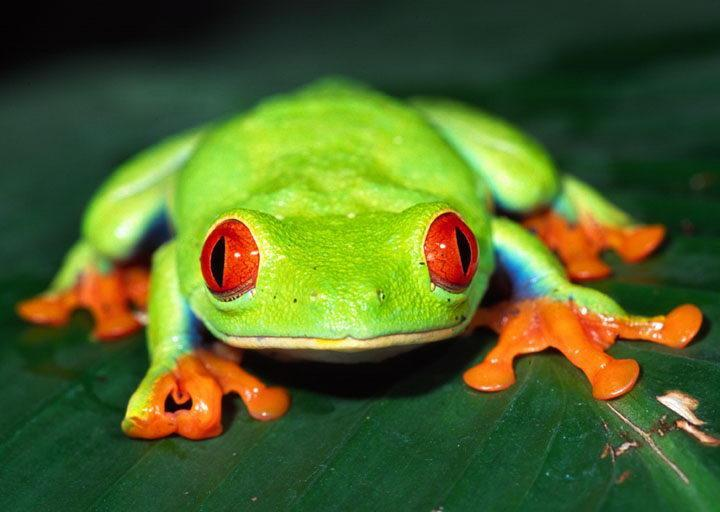 What group do frogs belong to?