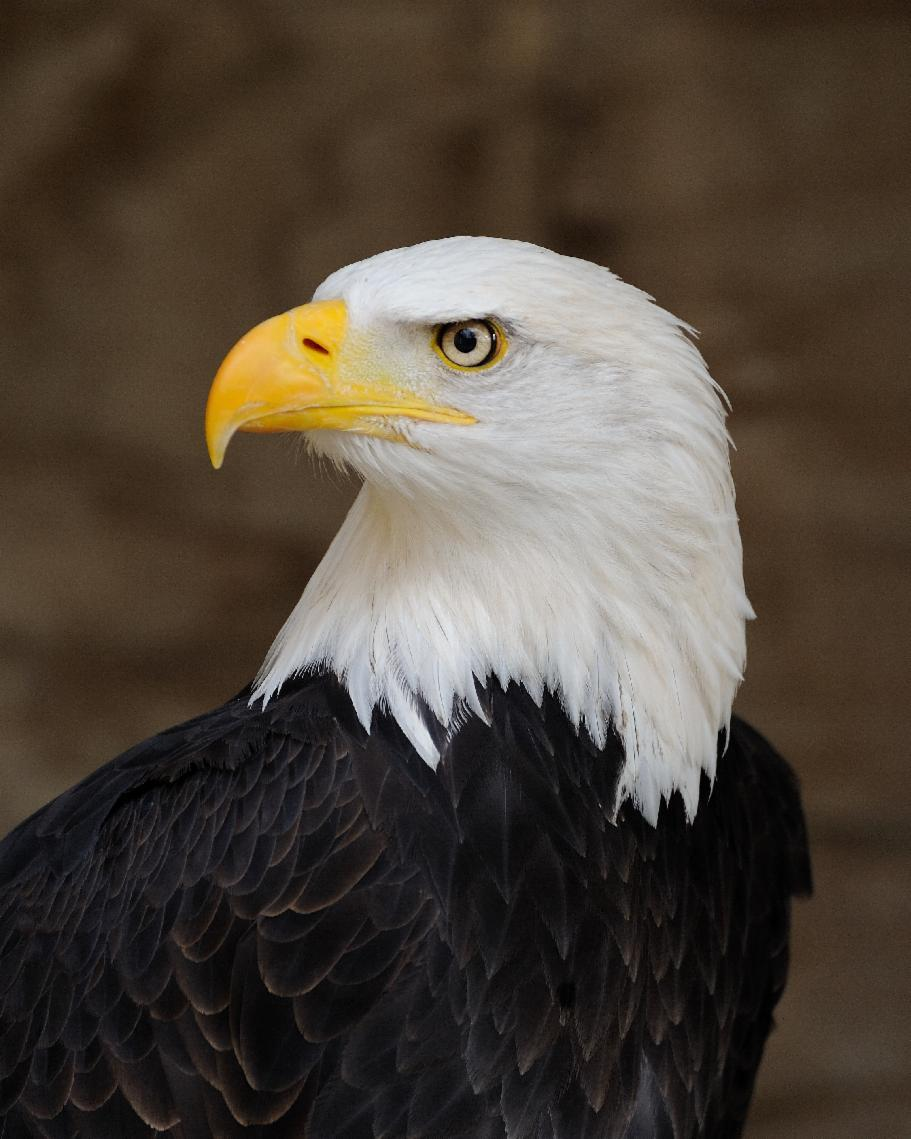 Which is the only continent you can find bald eagles?