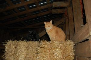 Barn cats are found in the stables of which style?