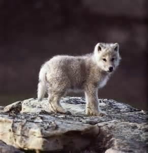 you see an adorable baby wolf walking towards you.