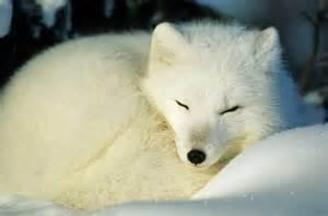 If you found an abanded Artic fox cub would you help it?
