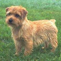 Alert, fearless, fun-loving, and more sociable than the usual terrier.