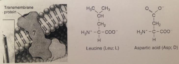 Note the models of aspartic acid and leucine shown below.  Based on the chemistry of the R groups (the variable or side group) only, which amino acid would more likely be in the bilayer interior at the position labeled 7 of the transmembrane protein?
