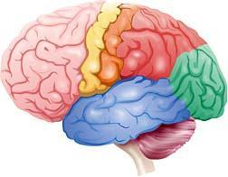 What is the name of the biggest part of the human brain?