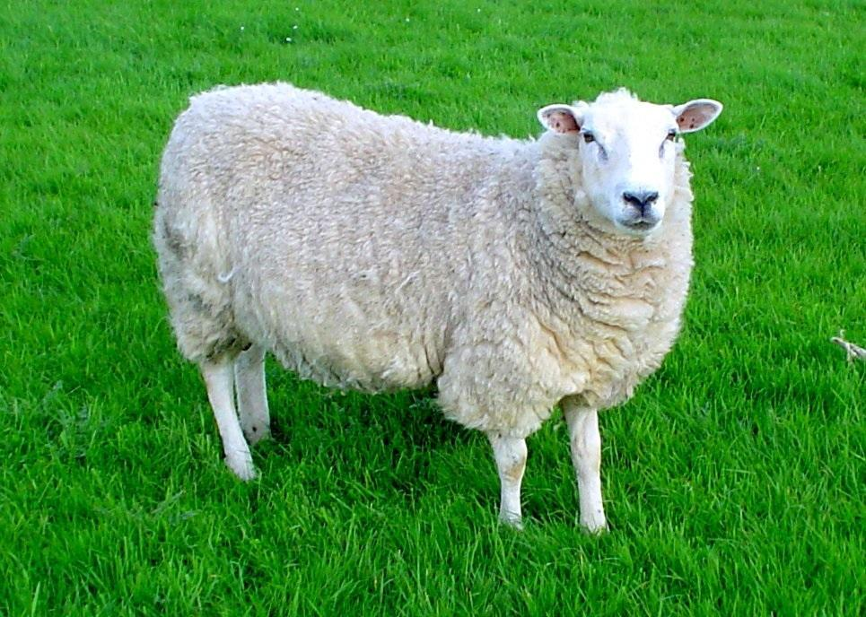 do you like sheep
