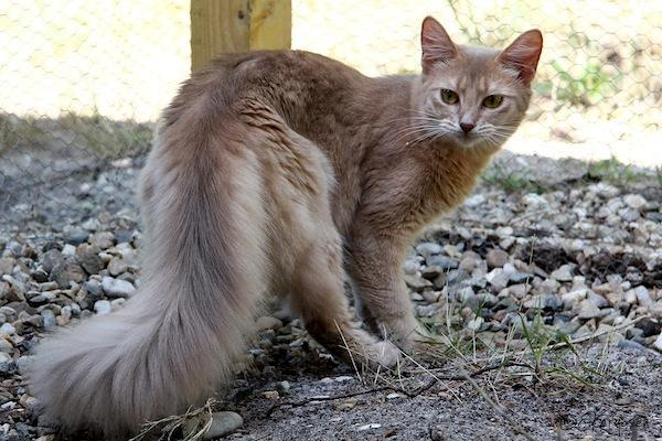 Very intelligent breed, sometimes called the fox-cat.