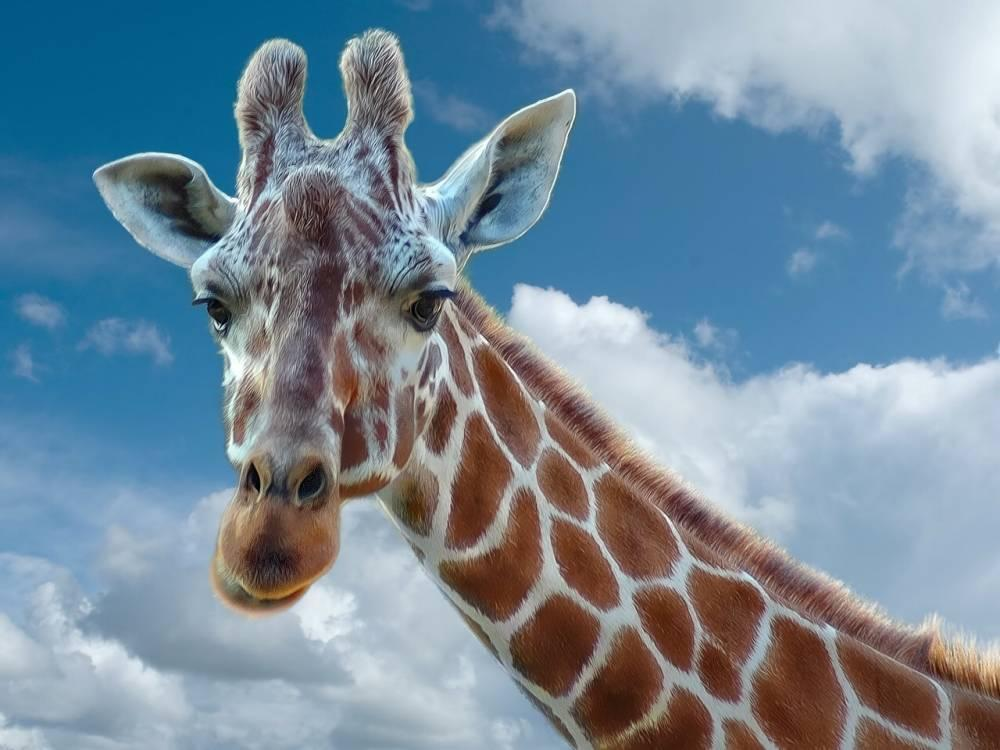How many bones are there in a giraffe's neck?