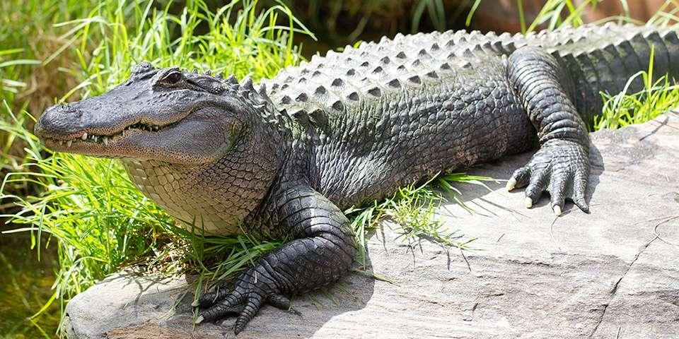 What age can an alligator live up to?