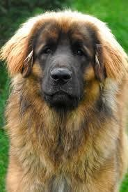 the leonberger