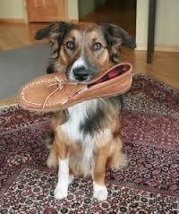 Has your dog ever stolen one of your shoes so now it's their favourite chew toy?