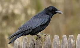 why are crows ugly and black