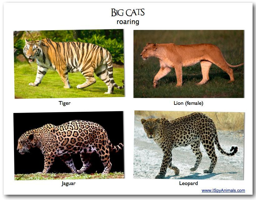 What is your favourite: Lions, Tigers, Jaguars or Leopards?