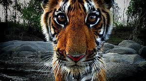 Are tigers going extinct?