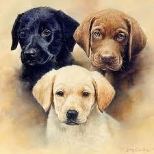 Black, Yellow or chocolate Labrador?