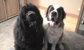 Newfoundlands or Saint bernards?