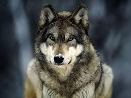 Do you think wolves are awesome?