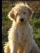 What is an ideal name for a Goldendoodle?